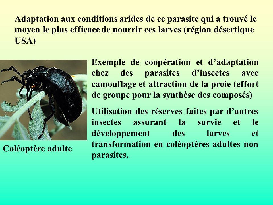 Coléoptère adulte Adaptation aux conditions arides de ce parasite qui a trouvé le moyen le plus efficace de nourrir ces larves (région désertique USA)