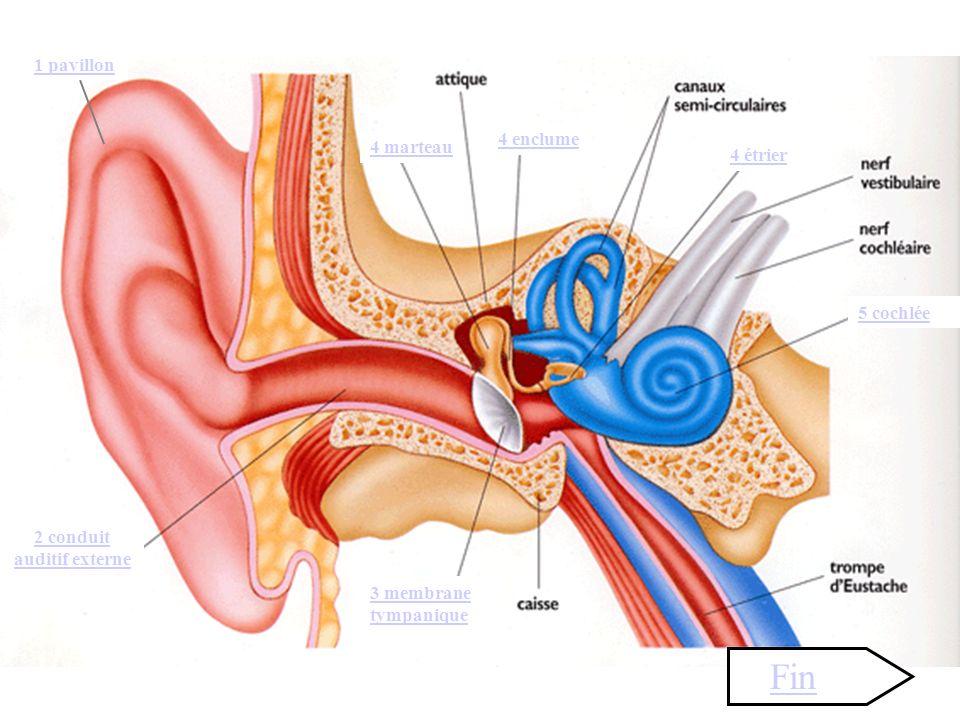 4 enclume 4 marteau 4 étrier 5 cochlée 1 pavillon 2 conduit auditif externe 3 membrane tympanique Fin