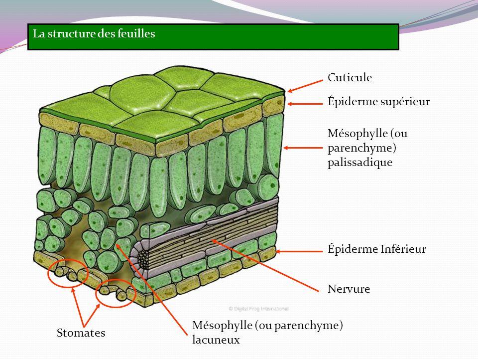 La structure des feuilles Cuticule Épiderme supérieur Épiderme Inférieur Nervure Stomates Mésophylle (ou parenchyme) palissadique Mésophylle (ou paren