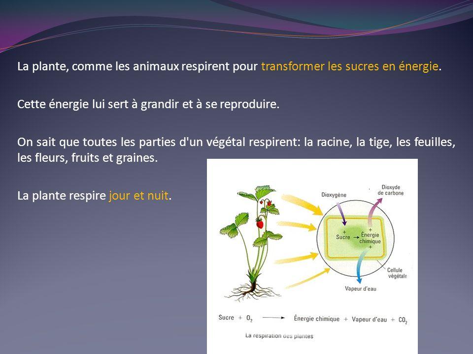 La plante, comme les animaux respirent pour transformer les sucres en énergie. Cette énergie lui sert à grandir et à se reproduire. On sait que toutes