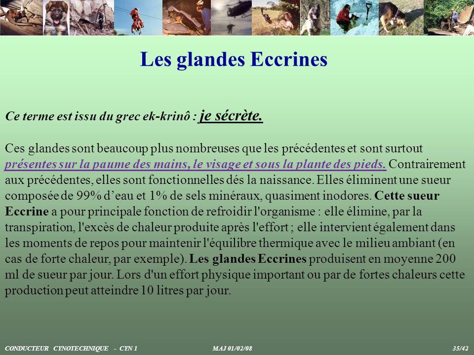 Les glandes Eccrines Ce terme est issu du grec ek-krinô : je sécrète. Ces glandes sont beaucoup plus nombreuses que les précédentes et sont surtout pr