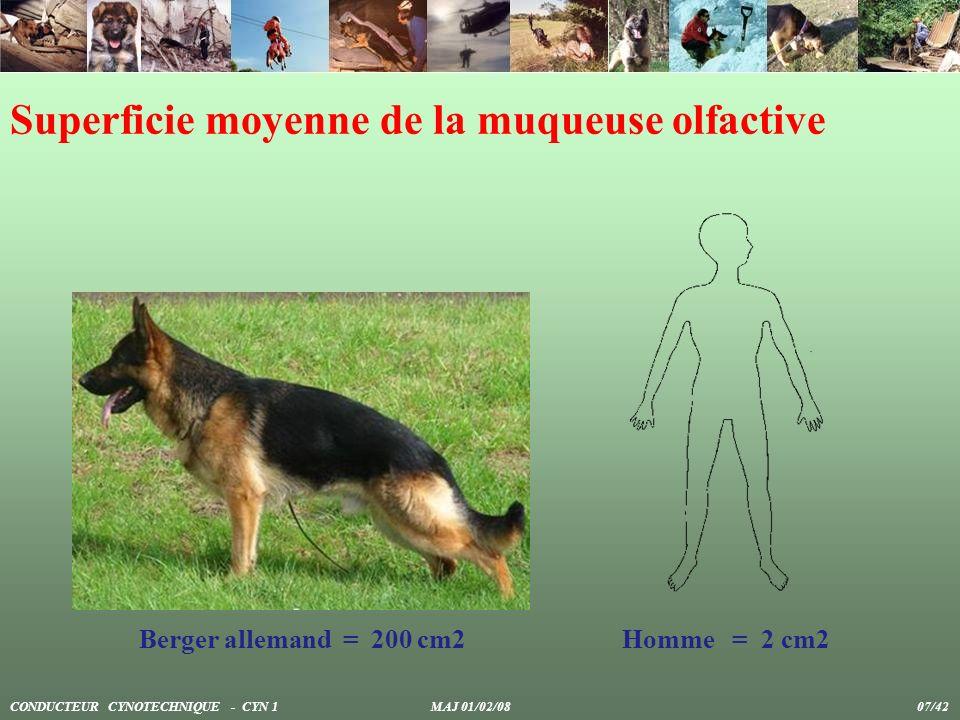 Superficie moyenne de la muqueuse olfactive Berger allemand = 200 cm2Homme = 2 cm2 CONDUCTEUR CYNOTECHNIQUE - CYN 1 MAJ 01/02/08 07/42