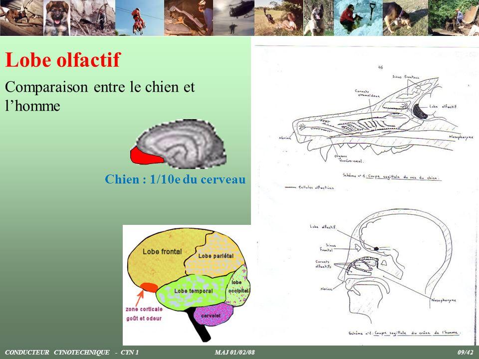 Lobe olfactif Comparaison entre le chien et lhomme Chien : 1/10e du cerveau CONDUCTEUR CYNOTECHNIQUE - CYN 1 MAJ 01/02/08 09/42