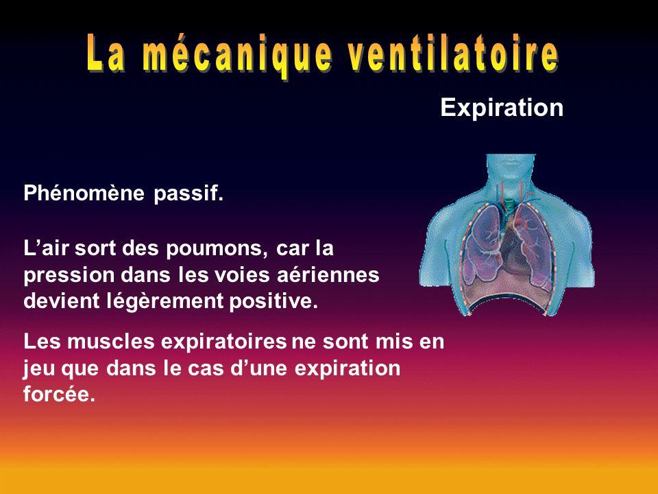 Phénomène passif. Lair sort des poumons, car la pression dans les voies aériennes devient légèrement positive. Les muscles expiratoires ne sont mis en