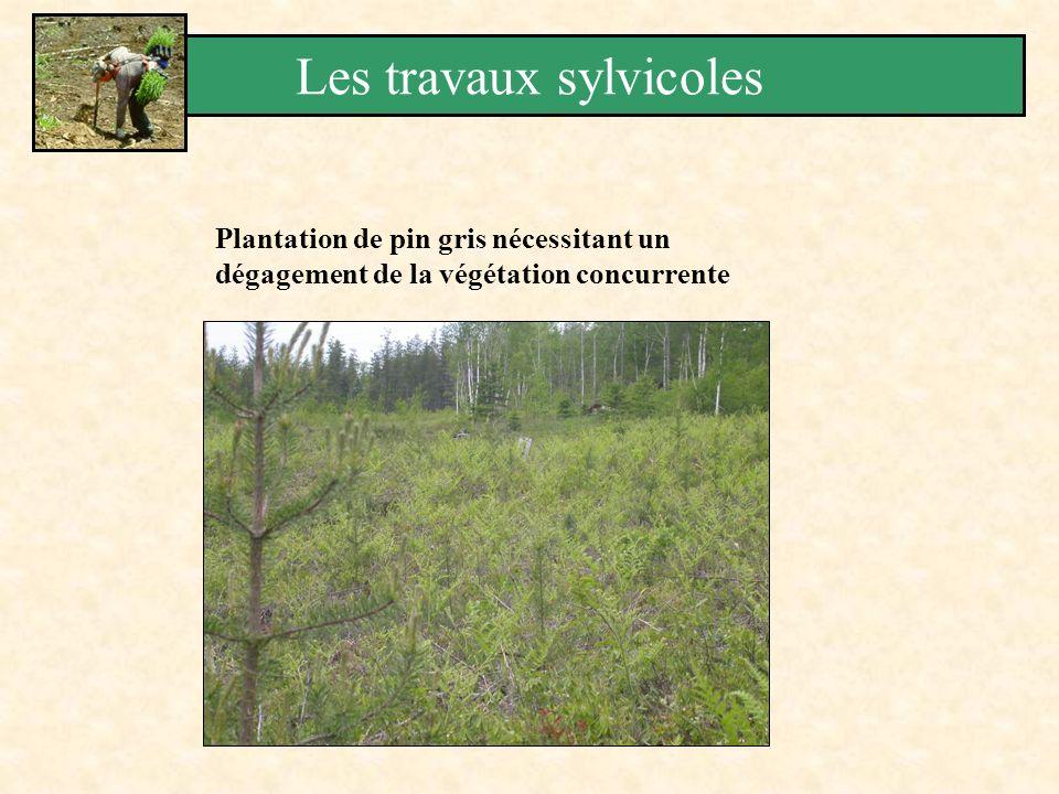Plantation de pin gris nécessitant un dégagement de la végétation concurrente