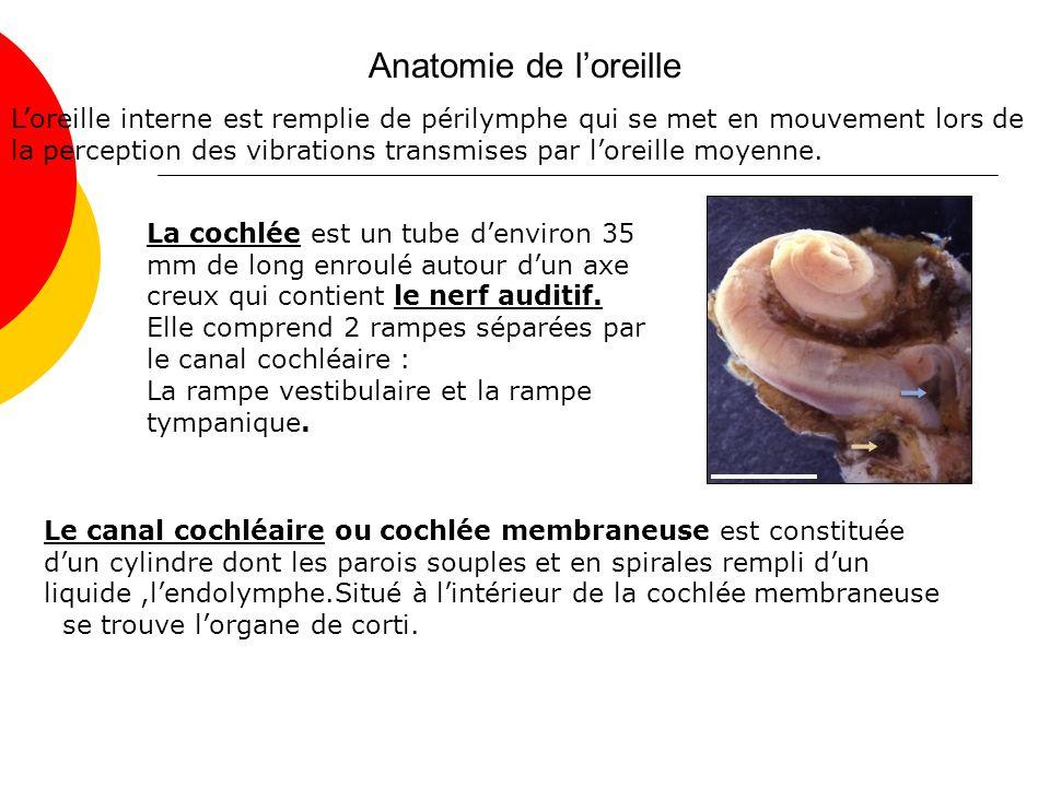 Anatomie de loreille Loreille interne est remplie de périlymphe qui se met en mouvement lors de la perception des vibrations transmises par loreille moyenne.