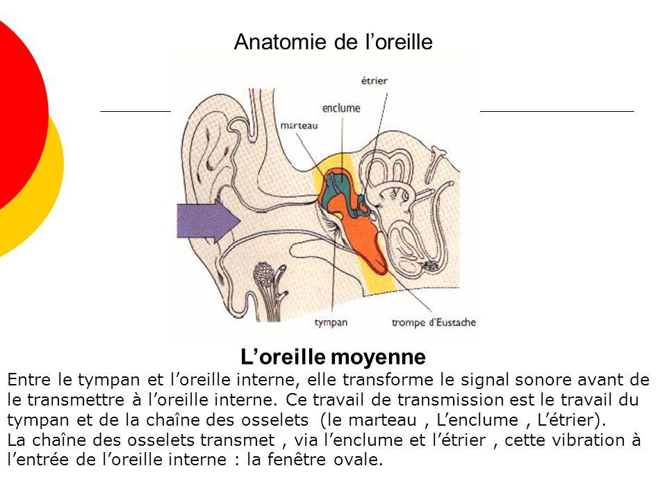 Anatomie de loreille Loreille moyenne Entre le tympan et loreille interne, elle transforme le signal sonore avant de le transmettre à loreille interne.