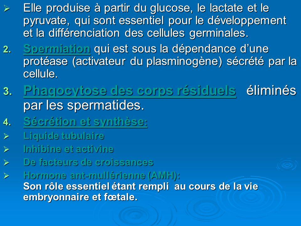 Elle produise à partir du glucose, le lactate et le pyruvate, qui sont essentiel pour le développement et la différenciation des cellules germinales.