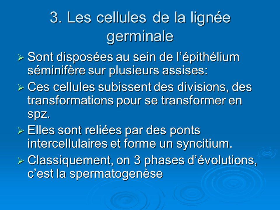 3. Les cellules de la lignée germinale Sont disposées au sein de lépithélium séminifère sur plusieurs assises: Sont disposées au sein de lépithélium s
