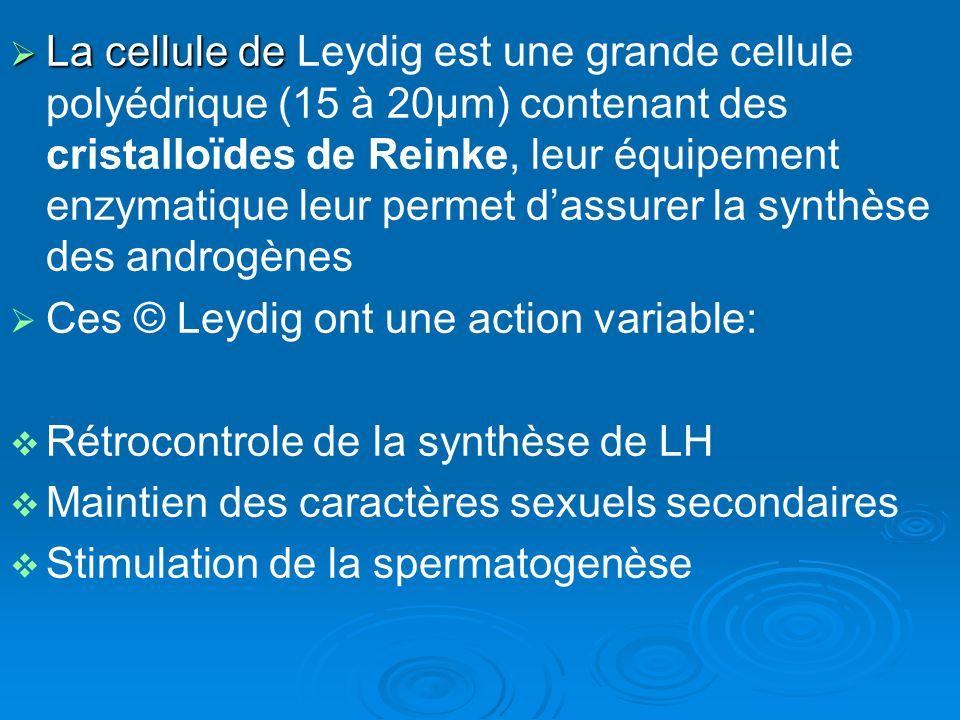 La cellule de La cellule de Leydig est une grande cellule polyédrique (15 à 20µm) contenant des cristalloïdes de Reinke, leur équipement enzymatique leur permet dassurer la synthèse des androgènes Ces © Leydig ont une action variable: Rétrocontrole de la synthèse de LH Maintien des caractères sexuels secondaires Stimulation de la spermatogenèse