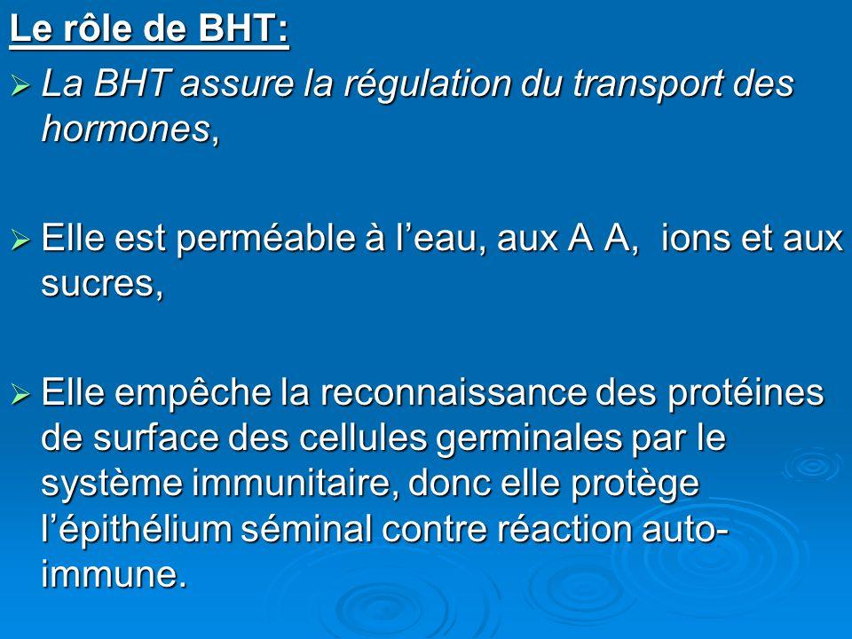 Le rôle de BHT: La BHT assure la régulation du transport des hormones, La BHT assure la régulation du transport des hormones, Elle est perméable à leau, aux A A, ions et aux sucres, Elle est perméable à leau, aux A A, ions et aux sucres, Elle empêche la reconnaissance des protéines de surface des cellules germinales par le système immunitaire, donc elle protège lépithélium séminal contre réaction auto- immune.