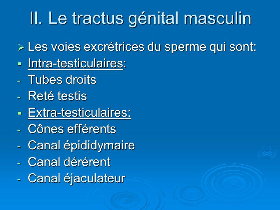 II. Le tractus génital masculin Les voies excrétrices du sperme qui sont: Les voies excrétrices du sperme qui sont: Intra-testiculaires: Intra-testicu