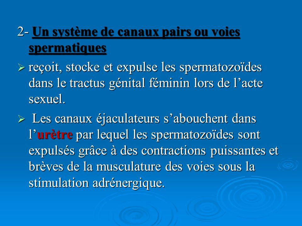 2- Un système de canaux pairs ou voies spermatiques reçoit, stocke et expulse les spermatozoïdes dans le tractus génital féminin lors de lacte sexuel.