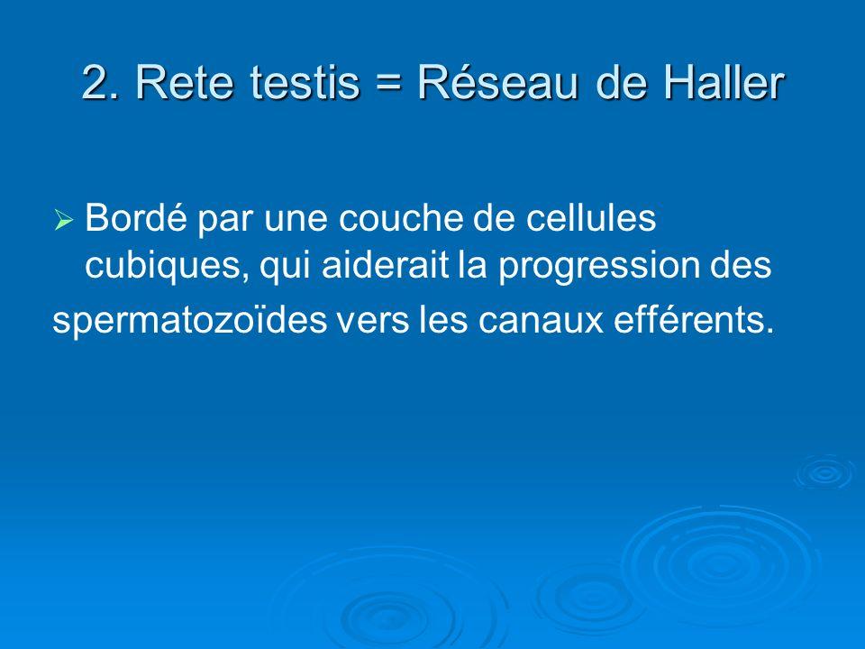 2. Rete testis = Réseau de Haller Bordé par une couche de cellules cubiques, qui aiderait la progression des spermatozoïdes vers les canaux efférents.