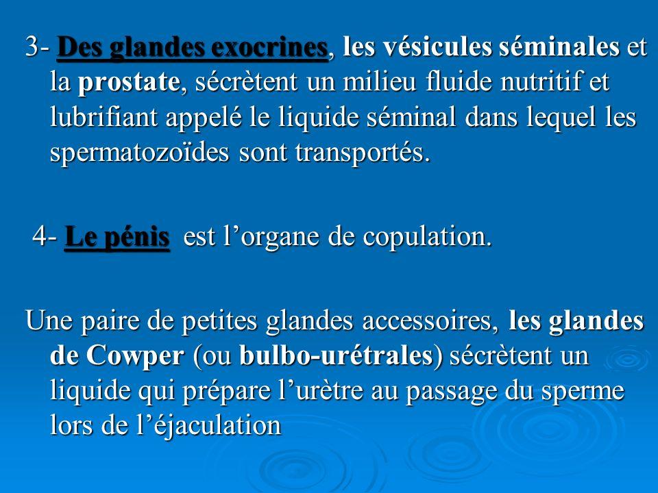 L activité glandulaire est contrôlée par les androgènes.