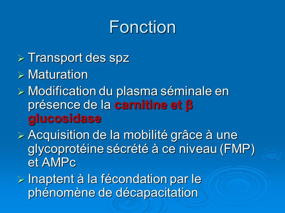 Fonction Transport des spz Transport des spz Maturation Maturation Modification du plasma séminale en présence de la carnitine et β glucosidase Modification du plasma séminale en présence de la carnitine et β glucosidase Acquisition de la mobilité grâce à une glycoprotéine sécrété à ce niveau (FMP) et AMPc Acquisition de la mobilité grâce à une glycoprotéine sécrété à ce niveau (FMP) et AMPc Inaptent à la fécondation par le phénomène de décapacitation Inaptent à la fécondation par le phénomène de décapacitation