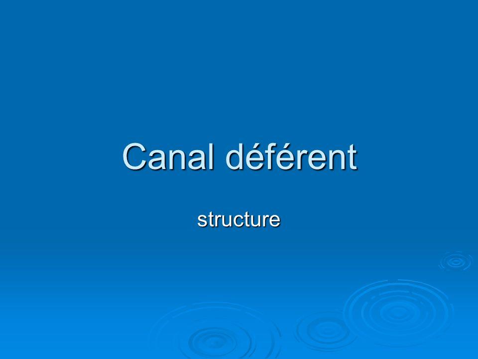 Canal déférent structure