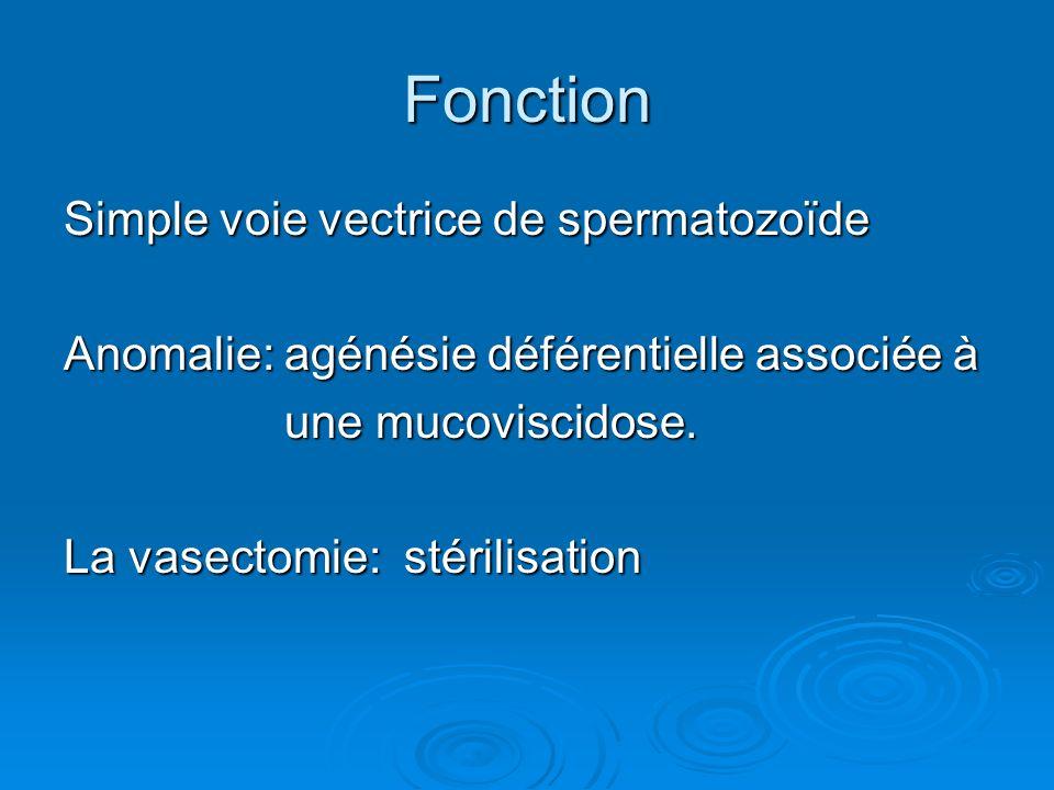 Fonction Simple voie vectrice de spermatozoïde Anomalie: agénésie déférentielle associée à une mucoviscidose.