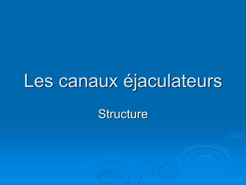 Les canaux éjaculateurs Structure