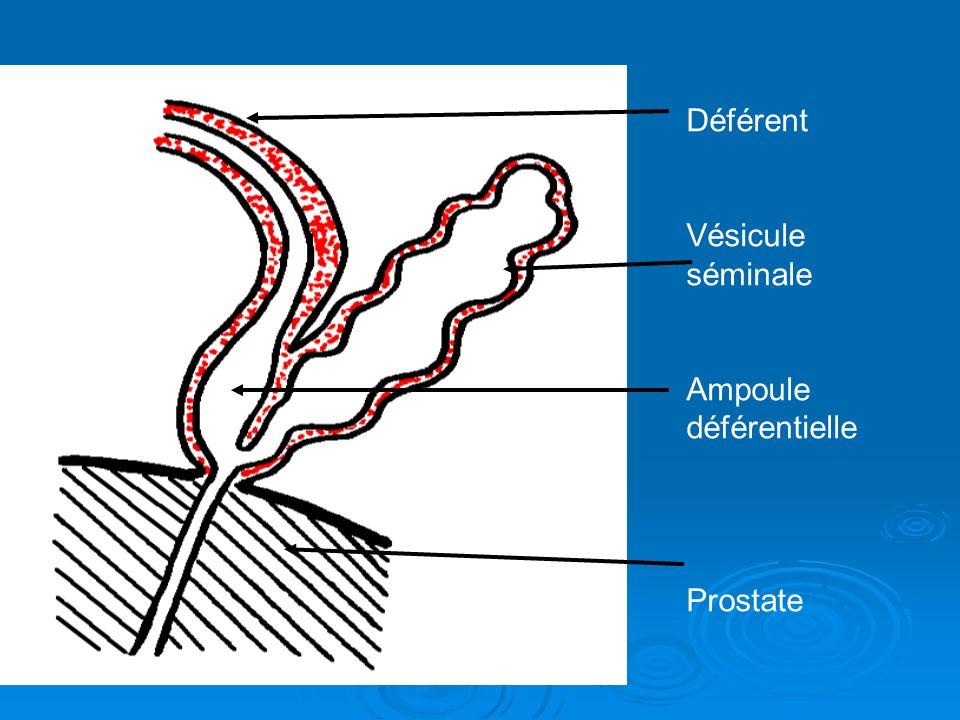 Déférent Vésicule séminale Ampoule déférentielle Prostate