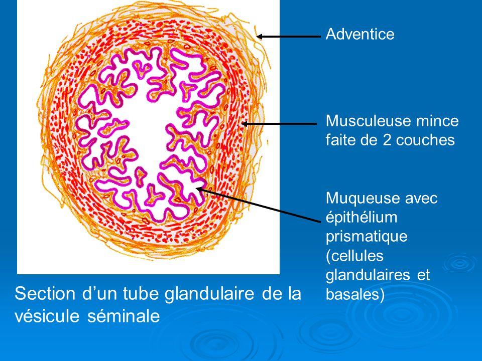 Adventice Musculeuse mince faite de 2 couches Muqueuse avec épithélium prismatique (cellules glandulaires et basales) Section dun tube glandulaire de la vésicule séminale