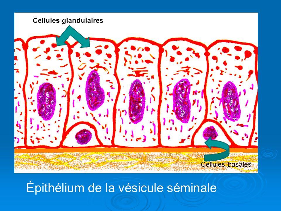 Épithélium de la vésicule séminale Cellules glandulaires Cellules basales