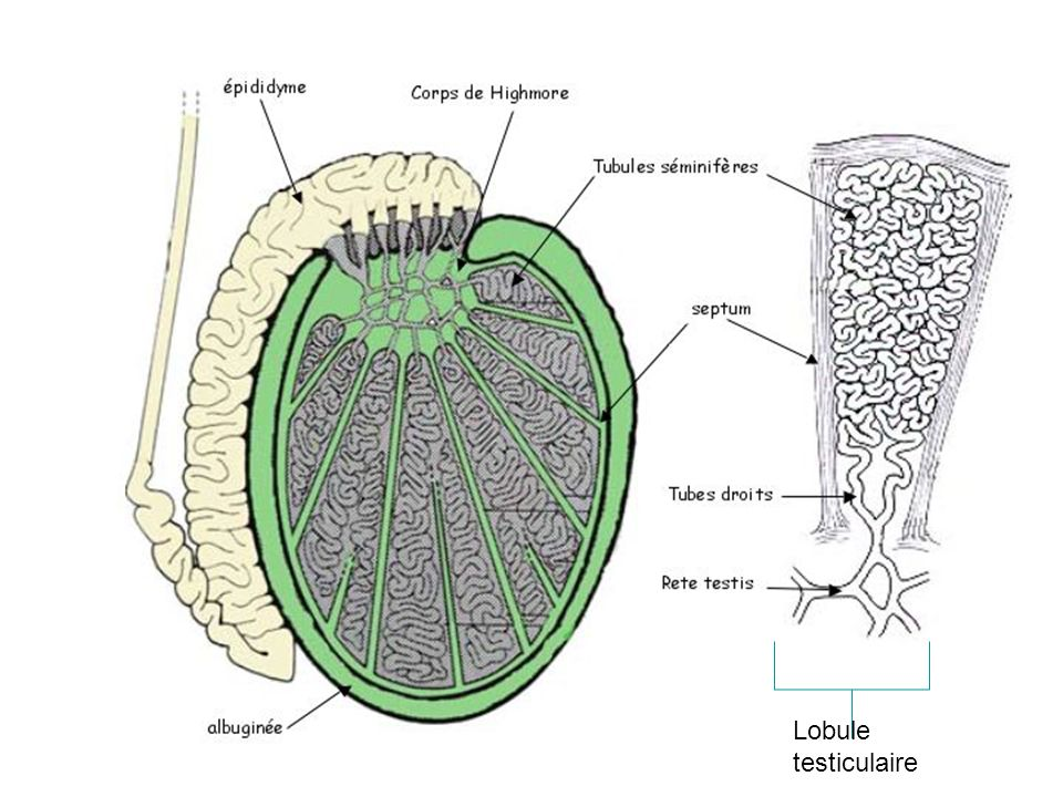 Fonction Progression du plasma séminal (battements ciliaires et FML) Progression du plasma séminal (battements ciliaires et FML) Modification du plasma séminal (activité des cellules glandulaires) Modification du plasma séminal (activité des cellules glandulaires) Cette voie est androgeno-dépendante Cette voie est androgeno-dépendante