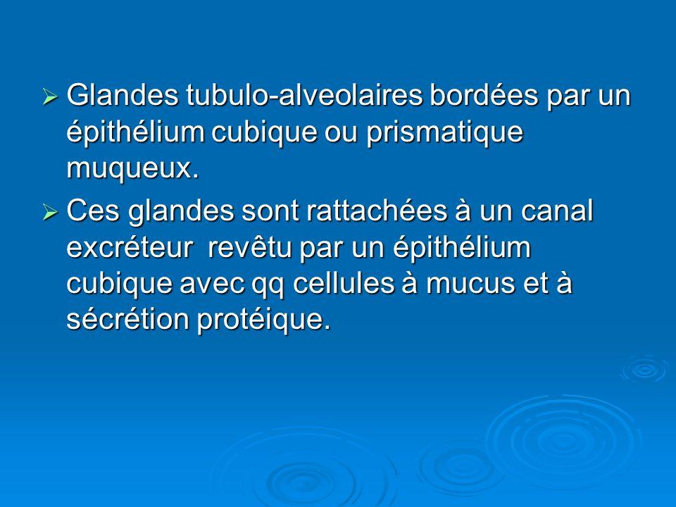 Glandes tubulo-alveolaires bordées par un épithélium cubique ou prismatique muqueux.