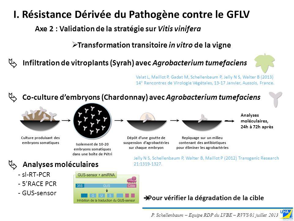 P. Schellenbaum – Equipe RDP du LVBE – RVVS 01 juillet 2013 Co-culture dembryons (Chardonnay) avec Agrobacterium tumefaciens Transformation transitoir