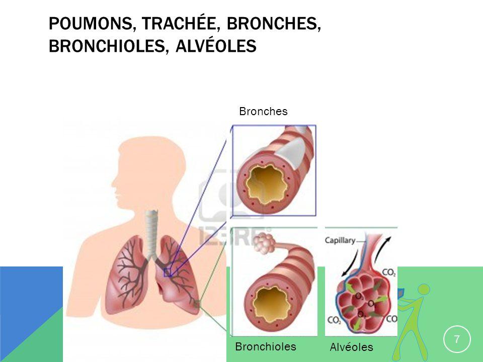 POUMONS, TRACHÉE, BRONCHES, BRONCHIOLES, ALVÉOLES 7 Bronches Bronchioles Alvéoles