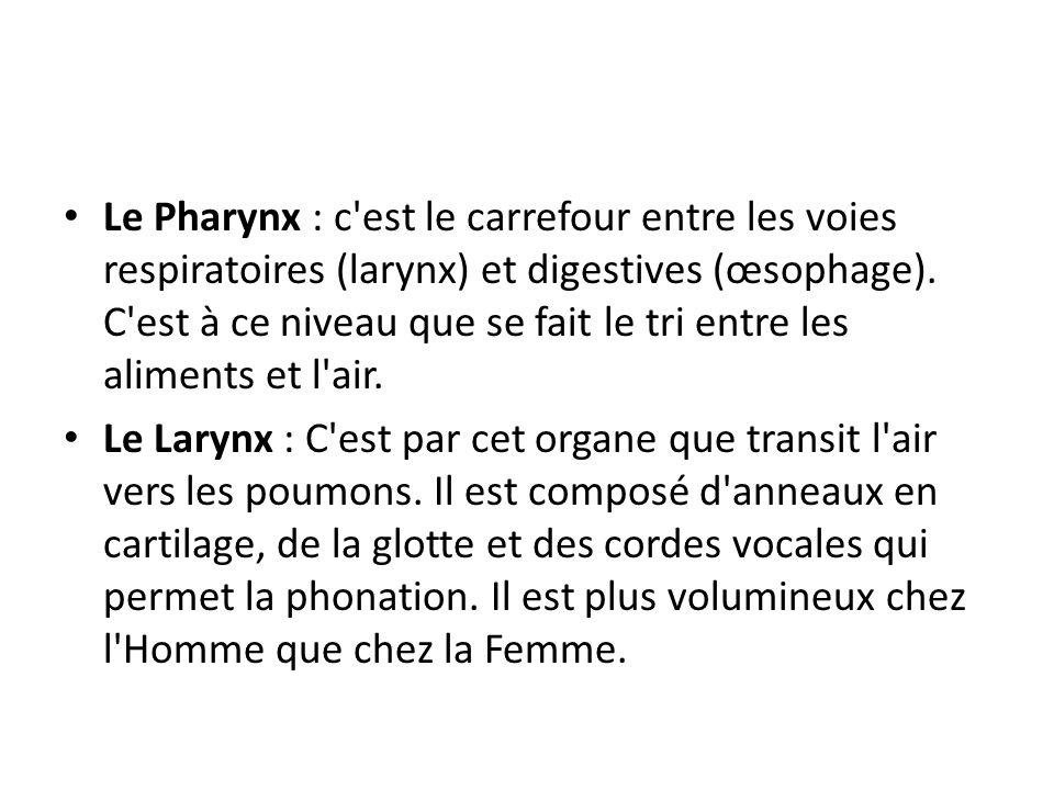 Le Pharynx : c est le carrefour entre les voies respiratoires (larynx) et digestives (œsophage).