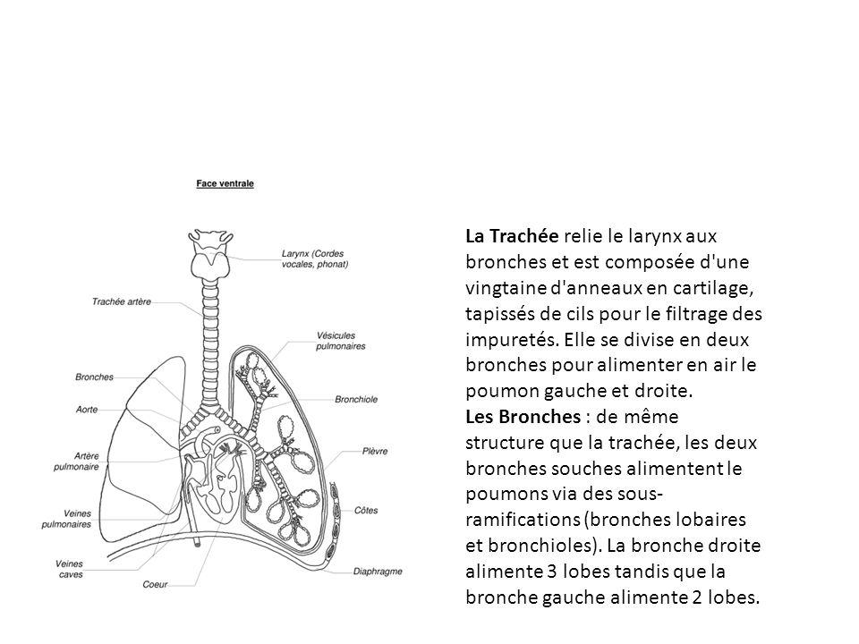 La Trachée relie le larynx aux bronches et est composée d une vingtaine d anneaux en cartilage, tapissés de cils pour le filtrage des impuretés.