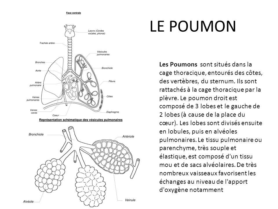 Le Coeur D un poids de 300 g environ pour un adulte, le cœur est situé au niveau de la cage thoracique.