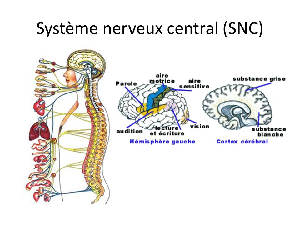 Mode daction Neurone Synapse