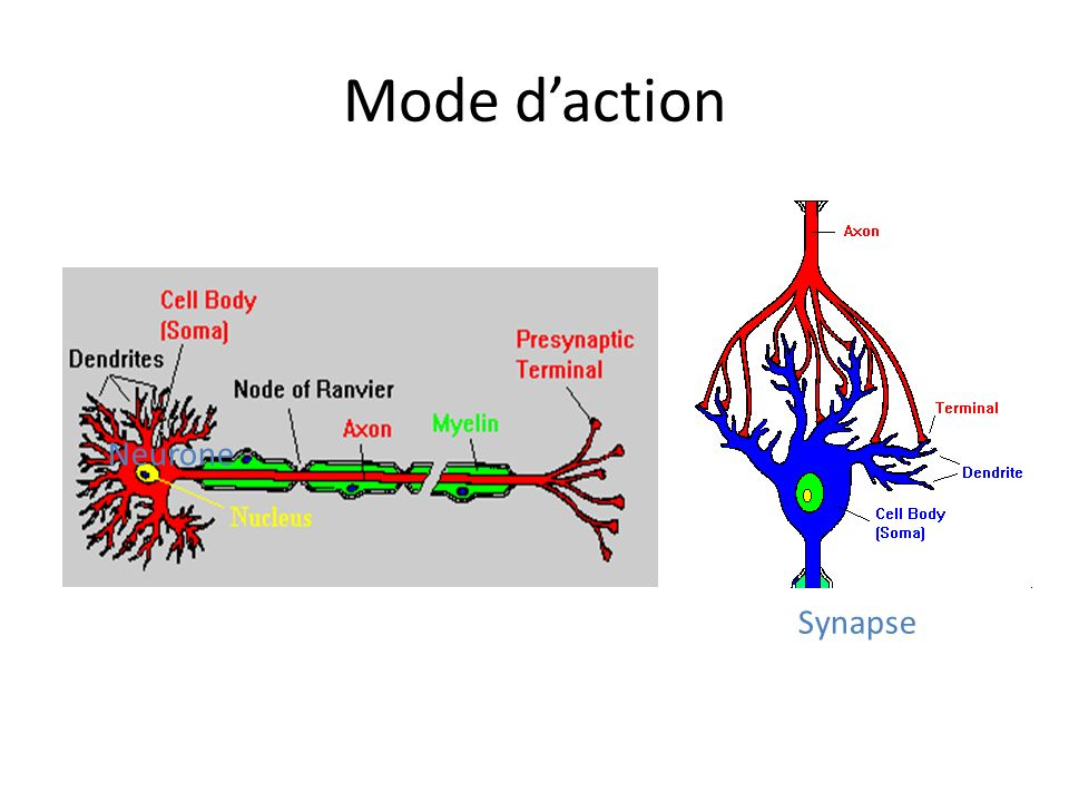 Mode daction Neurone Synapse