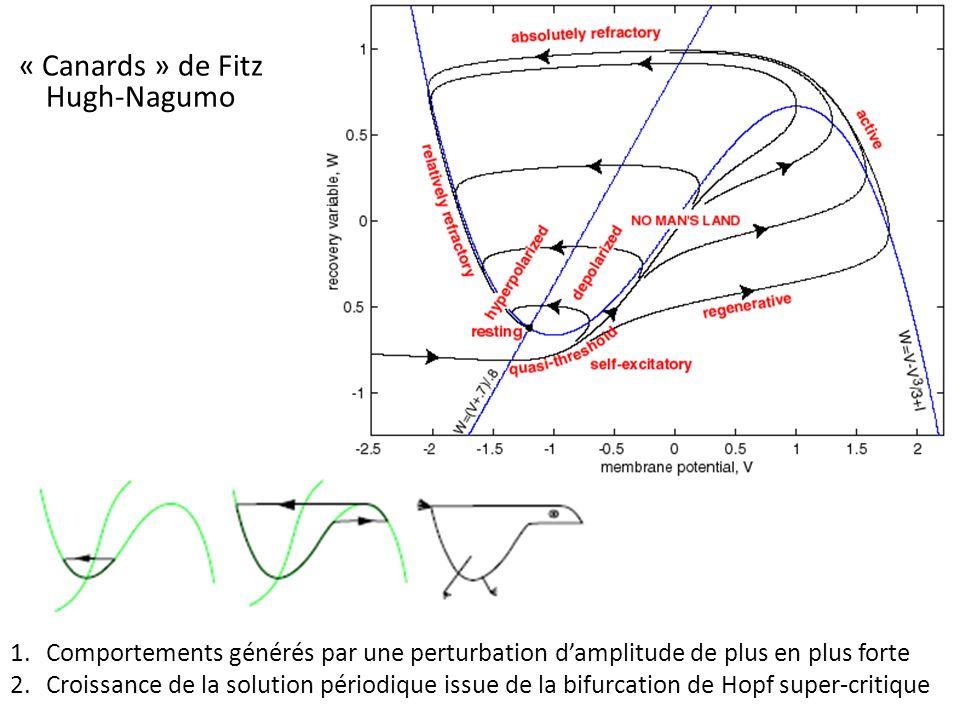 « Canards » de Fitz Hugh-Nagumo 1.Comportements générés par une perturbation damplitude de plus en plus forte 2.Croissance de la solution périodique issue de la bifurcation de Hopf super-critique