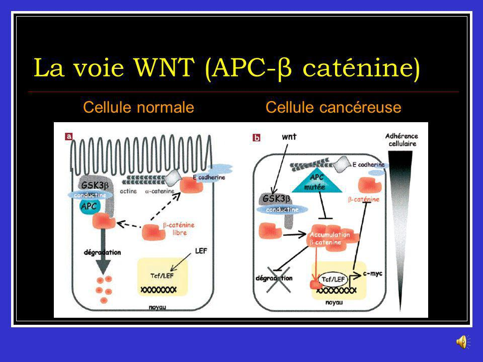 La voie WNT (APC-β caténine) En abs de signal mitotique, la β-caténine est séquestrée dans un complexe cytoplasmique(APC-axine-GSKβ3) sa dégradation (
