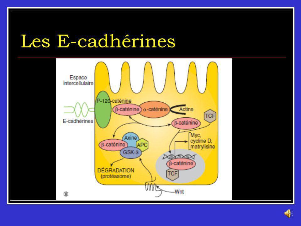 Processus dinvasion tumorale et diffusion métastatique Les Cadhérines : La E-cadhérine/βcathénine est impliquée dans le maintien de la polarité cellul