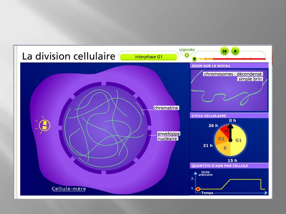 Voici les différents aspects possibles du matériel génétique visibles à différents moments de la vie de la cellule : BB EE DD CC AA