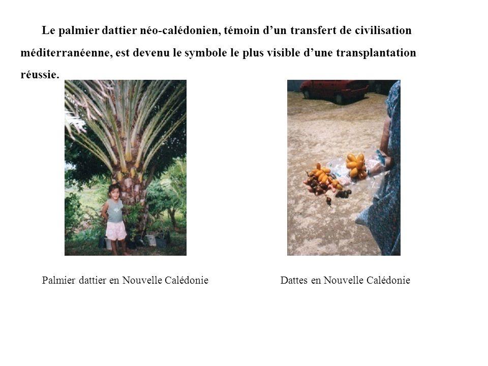 Le palmier dattier néo-calédonien, témoin dun transfert de civilisation méditerranéenne, est devenu le symbole le plus visible dune transplantation réussie.