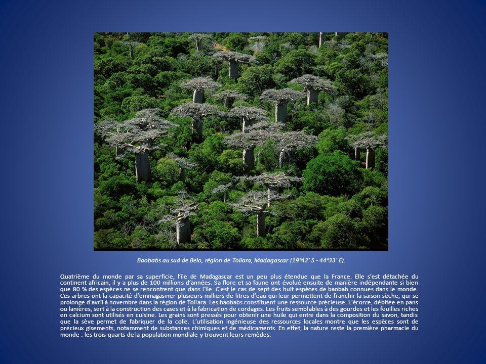 Baobabs au sud de Belo, région de Toliara, Madagascar (19°42 S - 44°33 E). Quatrième du monde par sa superficie, lîle de Madagascar est un peu plus ét