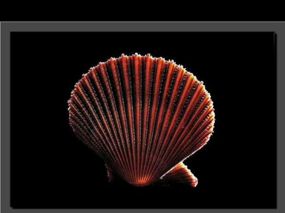 Tel un bijou, ce Neritopsis radula semble représenter l'harmonie-même.