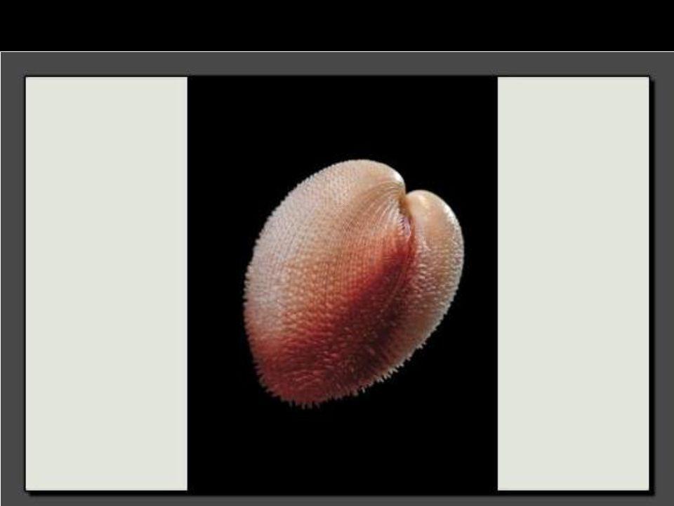 Ce Chlamys asperrima se trouve jusqu'à 100 mètres de profondeur. Il est très abondant au large des côtes australiennes.