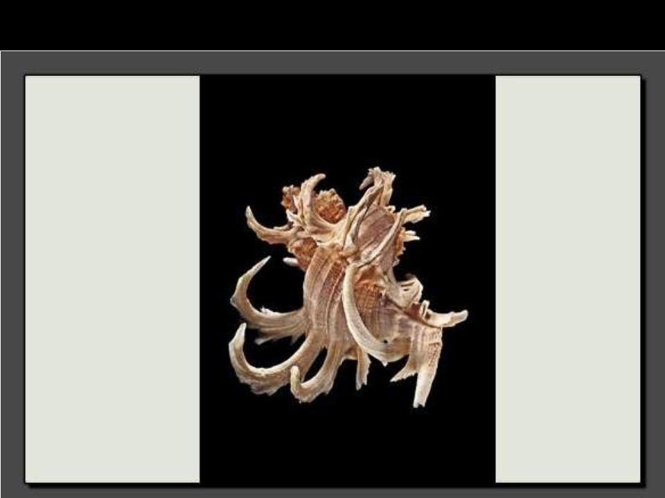 Ce spécimen appartient à la famille des siliquariidae. Il est reconnaissable à la longue spirale irrégulière, et dont les spires ne sont pas liées
