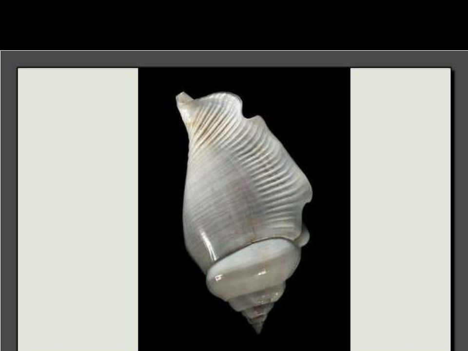 Ce très rare coquillage vit dans les eaux profondes entourant les Philippines.