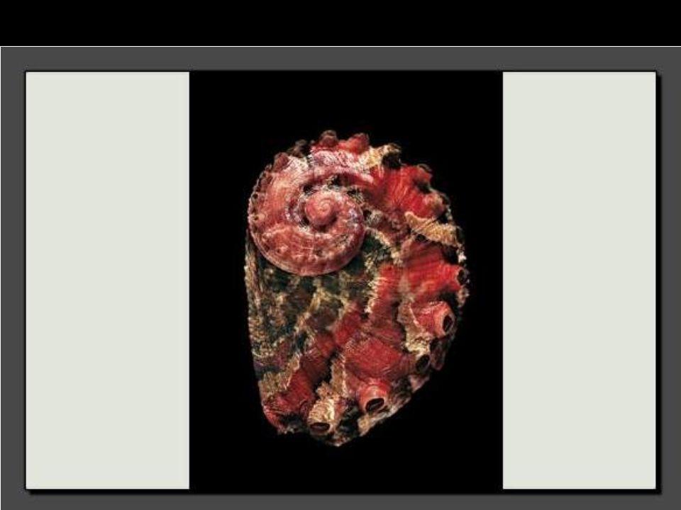 Ce sont ses rides profondes qui font la beauté de cette coquille d'Haliotis scalaris.