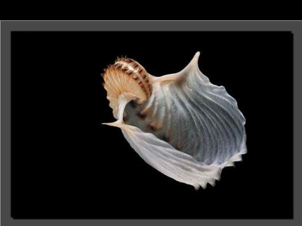 En Afrique du Sud, ce coquillage au rouge éclatant et mesurant 3 centimètres demeure rare. Son mollusque s'attache aux rochers en eau peu profonde