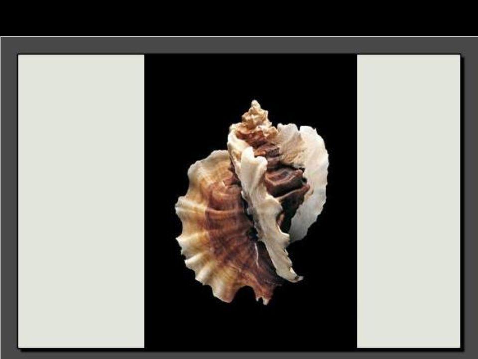 Du haut de ses 17 centimètres, ce coquillage a fière allure. C'est un prédateur redoutable.