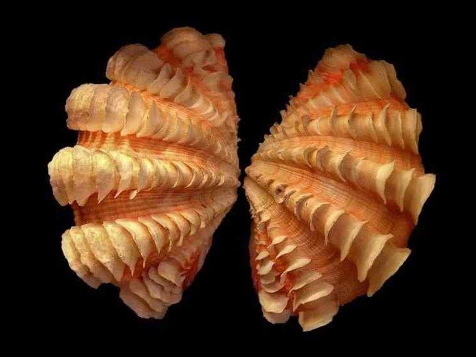 Large de 20 centimètres, ce spécimen Hippopus hippopus est un gros bivalve qui vit dans les massifs coralliens auxquels il se fixe solidement.