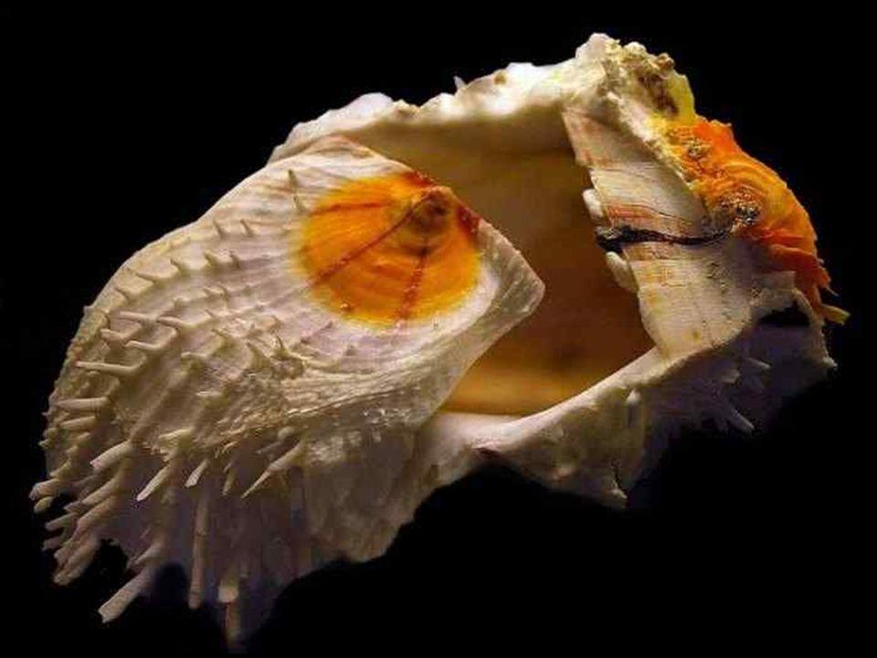 Tel un bijou, ce Neritopsis radula semble représenter l harmonie-même.